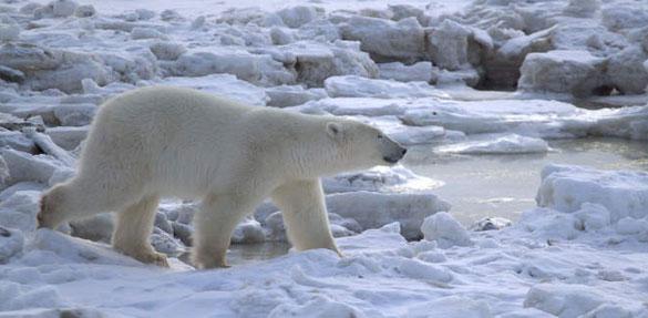 PolarBearShoot-0727ii