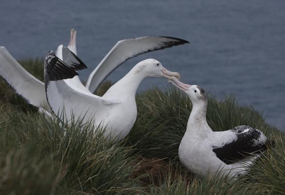 albatrosscourtship