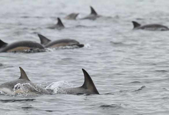 dolphinspod