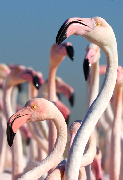 flamingoes2